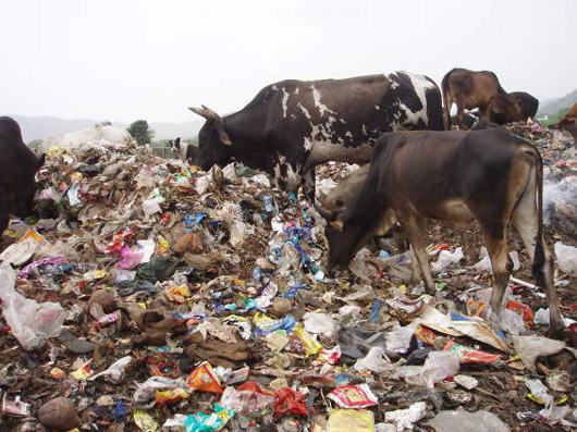 Cows grazing on trash